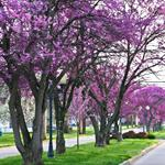 Elm Street with Redbud Trees